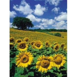 Ravensburger Puzzle Sunflower Field 1000pcs 16036